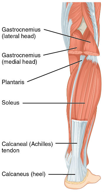 How To Build Calf Muscles A Guide To Building Leg Muscles